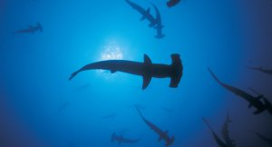 Hammerhead sharks off the Galapagos coastline